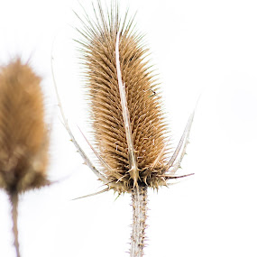 spikes by Jean Bogdan Dumitru - Nature Up Close Leaves & Grasses