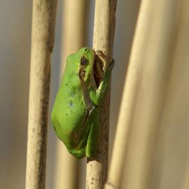 The frog by Vasiliu Leonard - Animals Reptiles ( macro, macro photography, frog, vasiliu leonard )