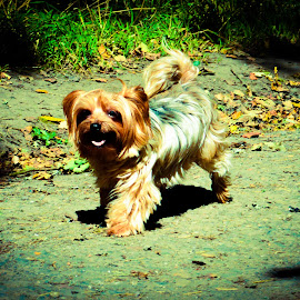 Wee cute Yorkie out for a run. by Lyndsay Hepburn - Animals - Dogs Playing ( smalldog, yorkiepuppyplaying, yorkierunning, smallyorkiedogplaying, yorkiedogs )