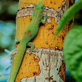 Gecko by Jim Downey - Animals Reptiles ( climbing, resting, gecko, colors, camouflage )