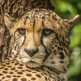 Cheetah by Garry Chisholm - Animals Lions, Tigers & Big Cats ( garry chisholm, predator, cheetah, carnivore, cat, nature, wildlife )