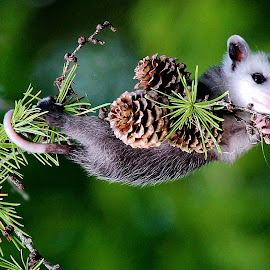 Out On A Limb by Terry Butcher - Animals Other Mammals ( pine cone, baby opossum, opossum, pine tree, pine cones, pine needles, pine trees, pine, limb )