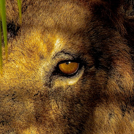 The eye of the great lion by Rubens Campos - Animals Lions, Tigers & Big Cats ( lion, great, close up, eye )