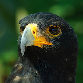 Black Eagle no 2 by Seppie Malherbe - Animals Birds (  )