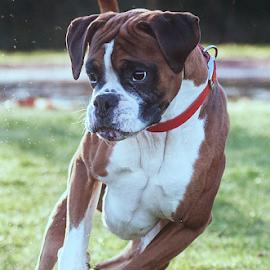 by Michael  M Sweeney - Animals - Dogs Running ( natural light, boxer, michael m sweeney, run, dog )