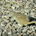 Round-tail Ground Squirrel