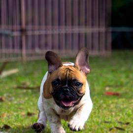 French Bulldog by Lim Darmawan - Animals - Dogs Puppies (  )