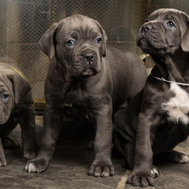 Trio of trouble by Jason Longbrake - Animals - Dogs Puppies ( fire place, puppies, blue brindle, columbus ohio pet photography, cane corso, cute )