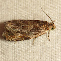 Basswood Olethreutes