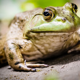 Frog on a rock by Shane McKenzie - Animals Amphibians ( water, frog, amphibian, toad, pond )