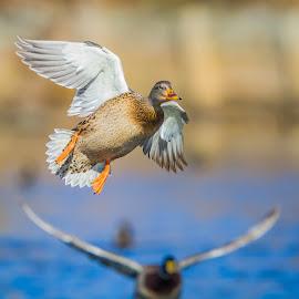 Flying Mallards by Chris Hurst - Animals Birds ( bird, hen mallard, mallard, mallards, birds, hen )