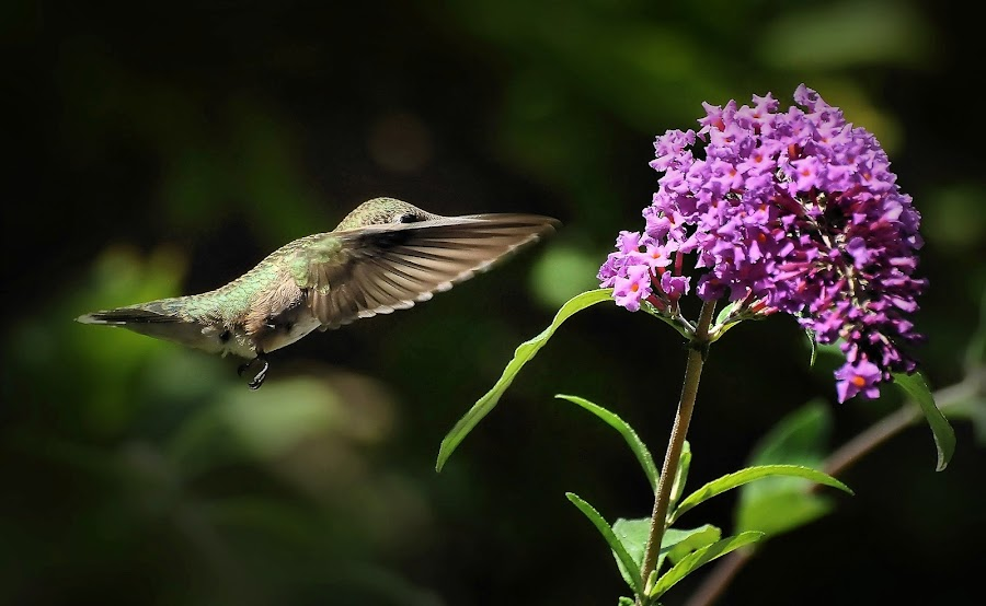 The Mission by Liz Crono - Animals Birds ( flight, birds, hummingbirds )