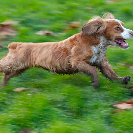 by James Blyth Currie - Animals - Dogs Running ( slow shutter speed, cockerspaniel, london, movement, dog, running )