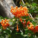 Flame Vine, Flaming Trumpet, Golden Shower Trumpet, Orange Bignonia 黃鱔藤、炮竹花、黃金珊瑚、炮仗絕三瓜花、炮仗紅