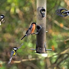 Busy Birdfeeder by Alex Graeme - Animals Birds