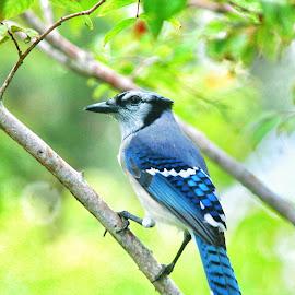 My Awesome Blue Jay! by Florent Alezi - Animals Birds (  )