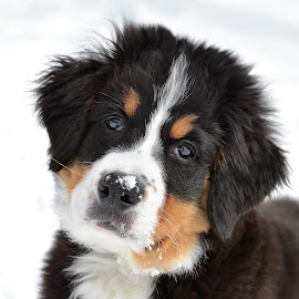 by Heidi Emanouel  - Animals - Dogs Puppies ( bernese mountain dog )