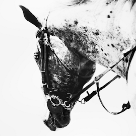Willing by Mari du Preez - Animals Horses ( stallion, reigns, black and white, horse, appaloosa )