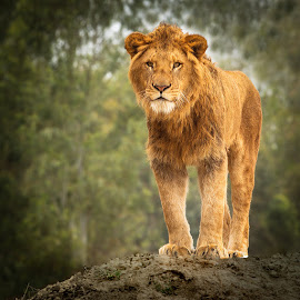 The Lion by Nayyer Reza - Animals Lions, Tigers & Big Cats