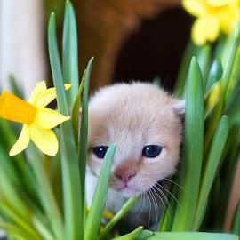 by Krista Nurmi - Animals - Cats Kittens