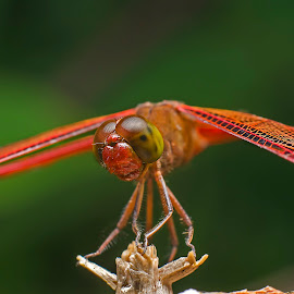 RED DRAGONFLY by Percy (ReverseLensOnlyMacroPhotography) - Novices Only Macro (  )