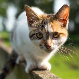 Farm Kitten by Gerald Mabee - Animals - Cats Kittens ( calico, farm, fence, cat, kitten, white, sunrise, morning, eyes )