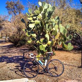 #strava #stravaphoto #stravaproveit #cannondale #cycling #roadbike #pricklypear #succulents #desert #tucson #arizona by Alan Freedman - Sports & Fitness Cycling