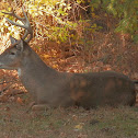 Eastern White-tail Deer (buck)