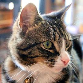Jinx - Closeup by Michelle Bonin - Animals - Cats Portraits ( cat, pink nose, cat portrait, green eyes, close up, macro shot )