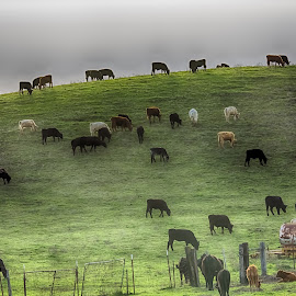 Hills 3 by Trevor Stevens - Animals Other Mammals ( farm, hills, animals, grass, cows,  )