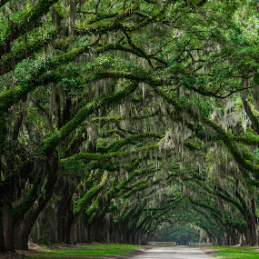 Oak Avenue, Wormsloe Historic Site, Savannah, GA by Jennifer Tsang - Landscapes Forests ( wormsloe, savannah, wormsloe historic site, tree, nature, oak, georgia, oak avenue, spanish moss, path, landscape )