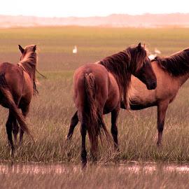 Carrot Island Horses by J Callender - Animals Horses ( nature, horses, horse, wildlife, coastal )