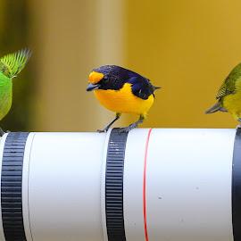Colorful birds!  by Itamar Campos - Animals Birds ( brazil, tanager, morretes, gaturamo male, gaturamo female, saíra militar female )