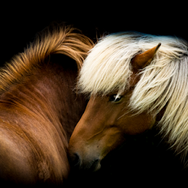 friendship by Erik Kunddahl - Animals Horses ( iceland, equine, equstrian, horse, nikon )