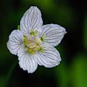 Marsh Grass-of-Parnassus or Bog star