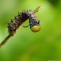 Southern pink-striped oakworm moth caterpillar