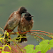 7. Red vented bulbuls.JPG