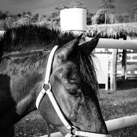 Peeking from the fence by Tânia Araújo - Animals Horses ( ride, fence, sumba, b&w, indonesia, horse, resort, stables, beach, nihiwatu, rain )