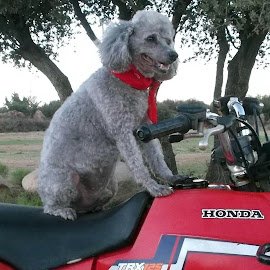 Easy Rider by Lynda Horn - Animals - Dogs Playing (  )