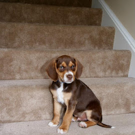 Picture Pose by Jessica Williams Bender - Animals - Dogs Portraits ( puppy sitting on stairs, beagle puppy, puppy,  )