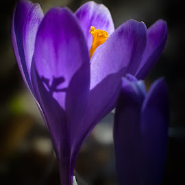 blue by BO LED - Nature Up Close Other plants ( saffron, macro, nature, blue, natural, first, spring, flower )