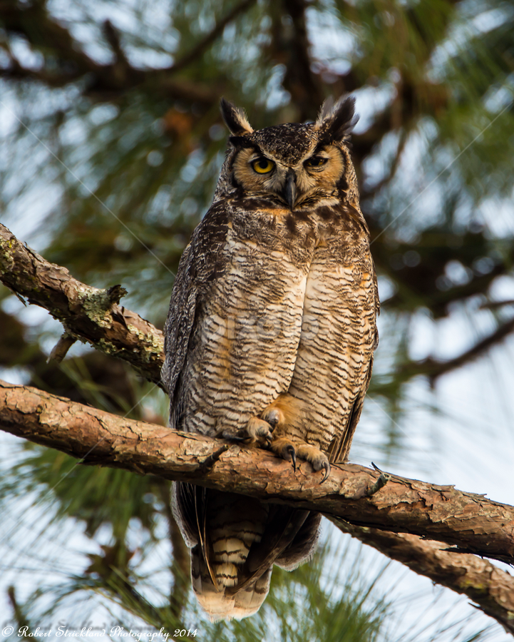 Great Horned Owl by Robert Strickland - Animals Birds ( studio, feather, parent, nocturnal, prey, vertebrate, attentive, branch, beautiful, haliaeetus, character, copy space, drawing, pet, element, carrion, floral, singing, natural, eye, vintage, animal, looking, wing, falconry, photography, flight, plumage, forest, cut, obedient, gyps, fulvus, falcon, bright, yellow, isolated, pattern, icon, birds, cute, cut out, one animal, vector, griffon, graphic, predatory, owlet, wingspan, cartoon, black, photo, cut-out, great, nice, food, flower, beautifully, vulture, tropical, standing, fly, outdoors, blue, species, wings, great horned owl, garden, illustration, sweet, small, symbol, raptor, berry, beak, beauty, owl, endangered, scavenger, looking at camera, avian, horizontal, side view, wise, white, bird, owl eyes, vultur, up, hunter, brown and white, tree, ornithology, horned, brown, bilberry, square, background, flying, eagle, carnivore, condor, hawk, creature, adorable, color, fruit, songbird, winter, watching, bubo, house sparrow, wisdom, shot, robin, passer, alert, mammal, design, sparrow, wild animal, wildlife, predator, nature, perching, retro, portrait, virginianus, environment, animal themes, time, wild, sitting )