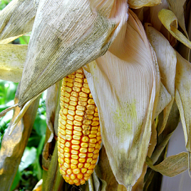 Corn by Lorie  Carpenter  - Nature Up Close Other plants ( nature, green, yellow, husk, corn )