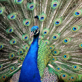 Peacock by Ralph Harvey - Animals Birds ( bird, wildlife, ralph harvey, peacock, marwell zoo )