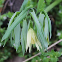 Large-flower bellwort
