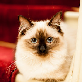 My Boo by Kim Stockley - Animals - Cats Kittens ( cats, beautiful, blue eyes, kittens, softness,  )