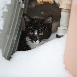 Buffalo Snowstorm by Kristen VanDeventer Rice - Animals - Cats Kittens ( contrast, buffalo, cat, kitten, curious, cold, black and white, snow, tuxedo cat, blizzard )