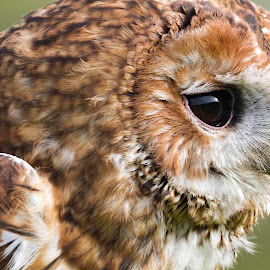 Concentration. by D W - Animals Birds ( concentration, tawny owl, david white photography, uncropped, close up )
