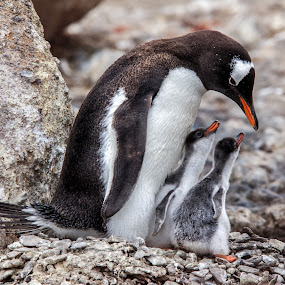 Caring and Sharing by Jay Gould - Animals Birds ( mom and chicks, cheesemans, gentoo penguin, south georgia, penguin, 2010,  )