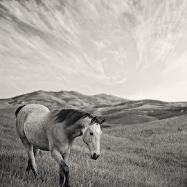 The Traveler by Laura Palazzolo - Animals Horses ( clouds, pasture, grass, tennessee walker, horse )